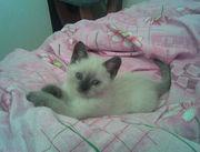 Сиамский котенок !+373 78122524