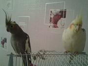 Продаю попугаев - пара. Корелла.
